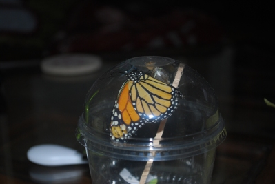 butterfly emerges from its cocoon
