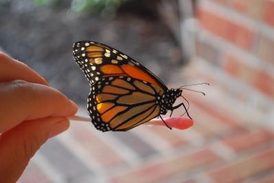 butterfly drinking Gatorade