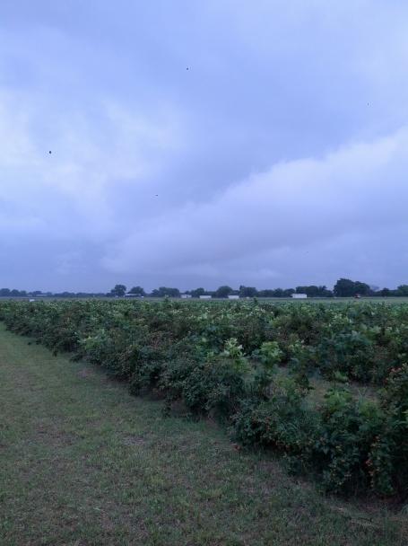 blackberry field